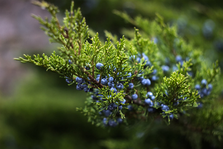 blue berries are plentifully sprinkled on a green bush