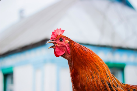 Screaming cock. close-up at the village background Stock fotó