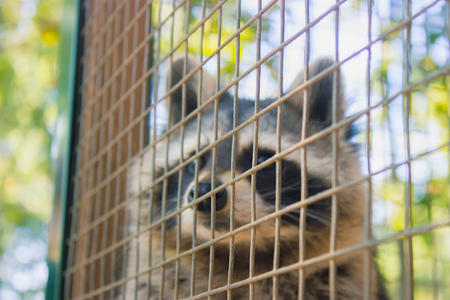 Racoon in the zoos cage at morning