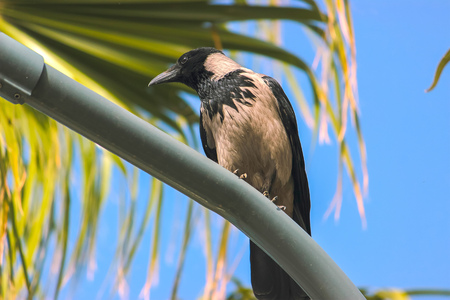 Crow on the street lamp post near palms