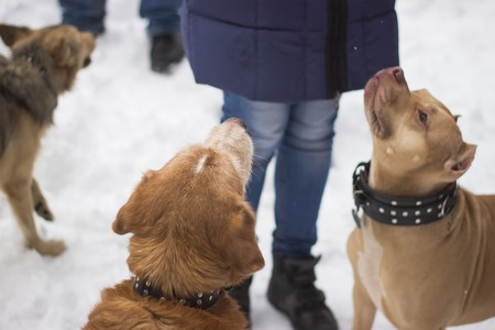 large dogs asking people for food in the snow