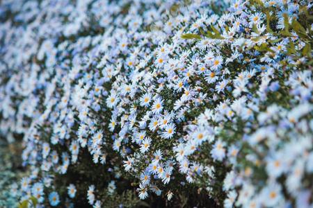 Field chamomiles flowers blooming in sun day. Beautiful meadow.
