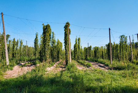 traditional hop field with hop pole at sun down