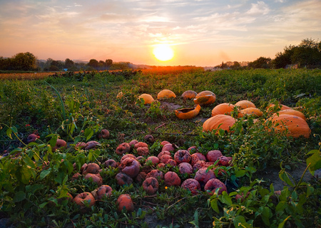 Rotten pumpkins on the garden at the train background. Autumn harvest. 写真素材