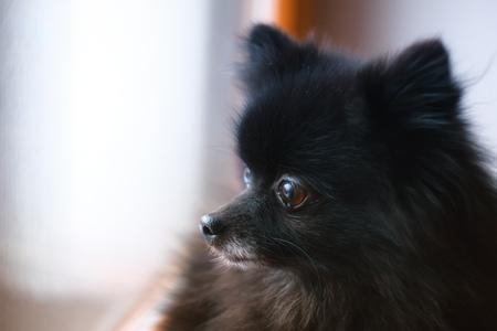 Black Pomeranian Spitz puppy sitting at the window 写真素材