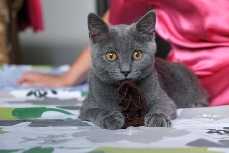 British young cat with brown toy in mouth