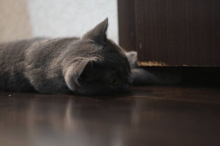 Scottish Fold mixed with British Shorthair cat in gray color lying down on floor 写真素材