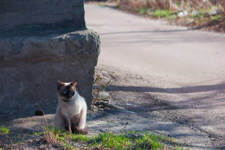Grumpy and unhappy seal point Siamese pedigreed cat sitting on the sidewalk near a road with grass 写真素材