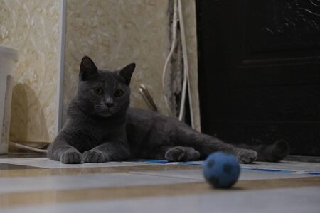 British young cat lying and try to catch a toy 写真素材