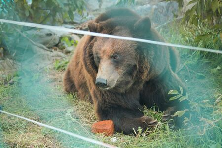 Live bear behind grids of a cage. Grizly roars during eating food