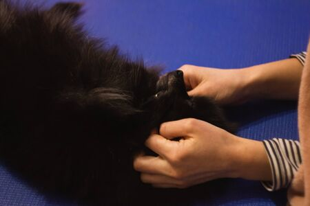 Black Pomeranian Spitz puppy lying at the floor. Petting the dog by hands