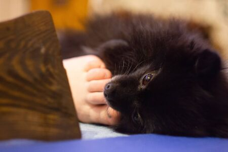 Black Pomeranian Spitz puppy lying at the floor. Petting the dog by legs Stock Photo