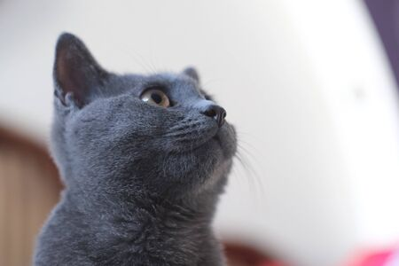Gray cat of British breed looks with large yellow eyes