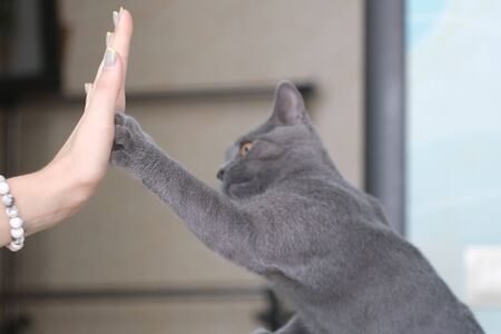 Cute british cat giving high five to human hand at interior. Friendship between girl and animal