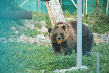 Live bear behind grids of a cage. Grizly roars during eating orange.