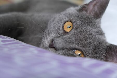 Scottish Fold mixed with British Shorthair cat in gray color lying down on the bed and sleeping