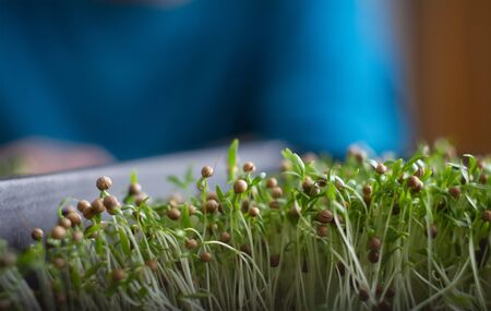 Fresh micro greens closeup. Growing sunflower sprouts for healthy salad. Eating right, stay young and modern restaurant cuisine concept Banque d'images