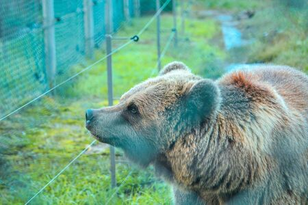 Live bear behind grids of a cage. Grizly walking at grass Stock fotó