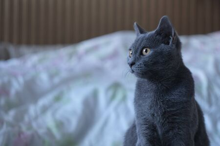 Gray cat of British breed looks out of the window with large yellow eyes
