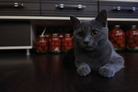 British cat sitting and protecting homemade preserved food in glass jars. Canned tomatoes at background Banco de Imagens
