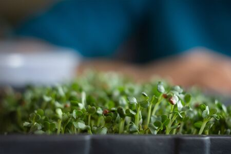 Fresh micro greens closeup. Growing sprouts for healthy salad. Eating right, stay young and modern restaurant cuisine concept
