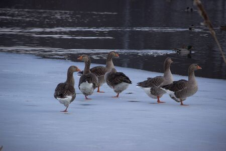 Ducks in the winter looking for food on the river shore.