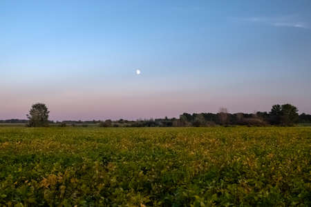 Soybean Field in sunset with moon and purple sky.