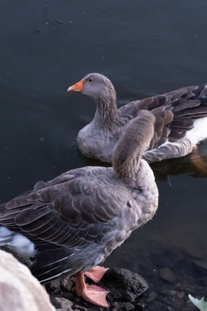 Angry ducks hunt for fish at evening pond park