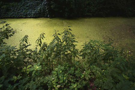 Water problem. Small lake in the forest overgrown and turned into a swamp with nettle.