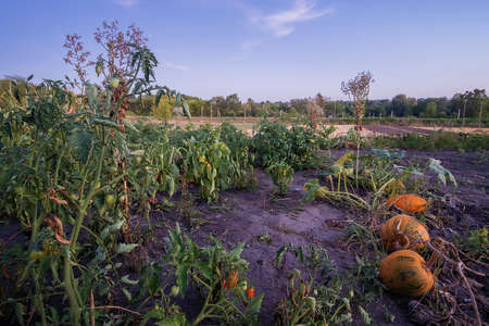 vegetable plants and tomato, pumpkin and lettuce plants at sunset garden.