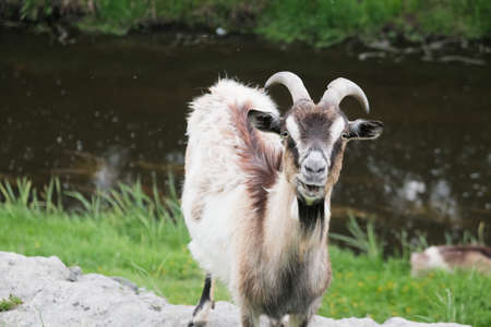 lonely goat near the river looking at camera. Zdjęcie Seryjne