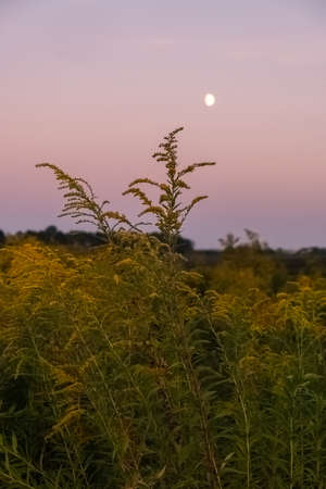 Goldenrod growing along a country road. Beautiful velvet sky.