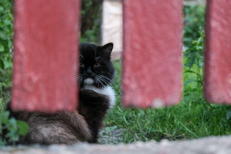 Cat hiding and looking over the fence. Yard cat behind a fence. Zdjęcie Seryjne