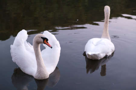 Two gorgeous swans in the river swimming