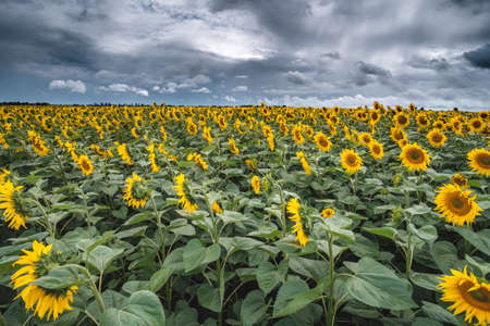 Sunflower field at the sunset dramatic sky. Foto de archivo