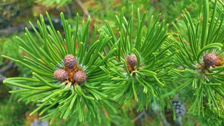bumps: Little bumps on little green spruce