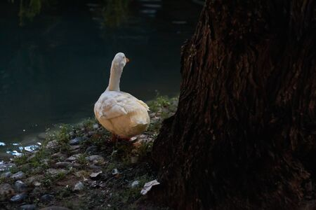 Duck in Marbella park at night in the middle of a lake Stock Photo