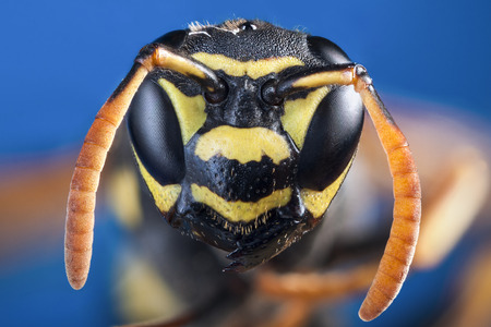 deadly poison: Wasp s head in close up