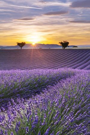 Panorama vertical d'un champ de lavande au coucher du soleil Banque d'images