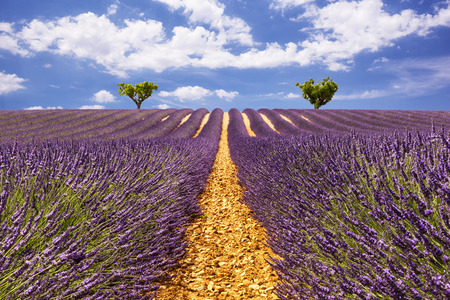 aisles: Lavender aisles with two trees on the horizon Stock Photo