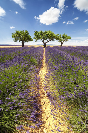 lavendin: Vertical panorama of a lavender field with three trees