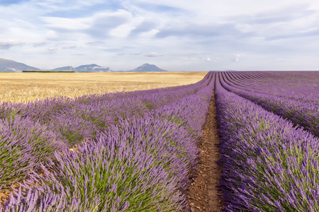 two and two thirds: Two thirds lavender and wheat tier, France