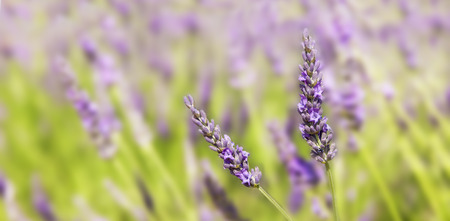lavendin: Panorama on two sprigs of lavender
