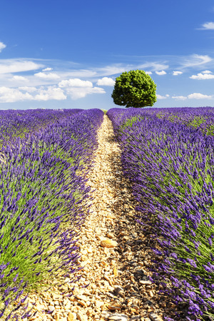 lavendin: A round tree in a lavender field,France