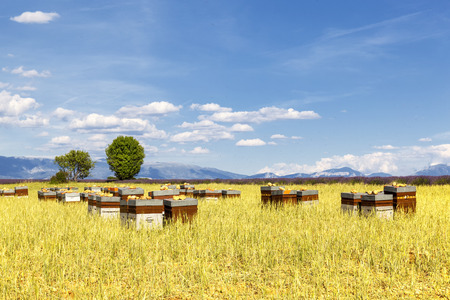 bee garden: Hives with many bees in flight