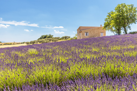 Provencal house in front of lavender fields, France