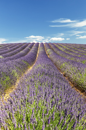 Rows lavender in portrait mode, France