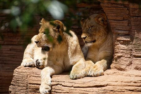 Two female lions on a rock ledge.