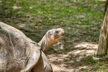 A close up of a Galapagos tortoise in a zoo.