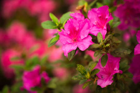 A beautiful pink azalea in bloom with a blurred background.